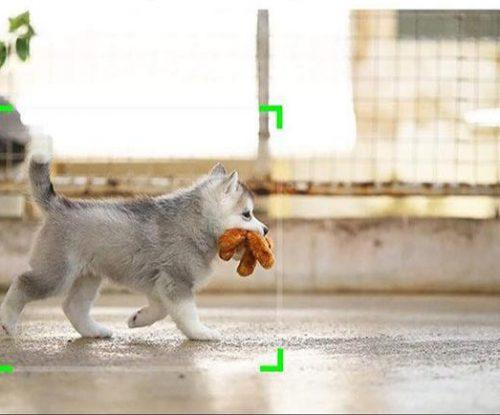 כלב צועד